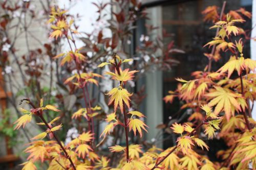 japanese maple tree meaning. The Japanese maple trees are