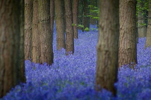 Bluebells-flickr-group-014